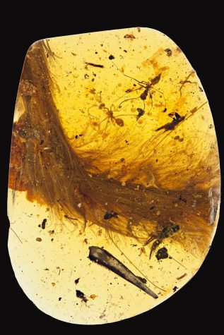 Encased in Amber: Feathered Dinosaur