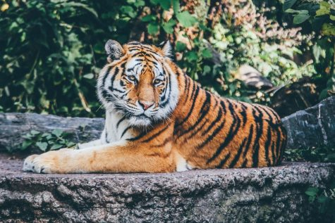 Bronx Zoo Tiger is Diagnosed with COVID-19